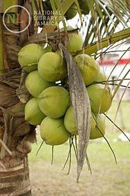 d_0004353_jamaican_coconuts.JPG