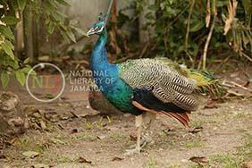 d_0004367_peacock_hope_zoo.JPG