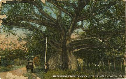d_0007527_tom_cringles_cotton_tree.jpg