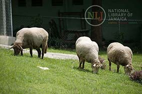 d_0004365_sheep_hope_zoo.JPG