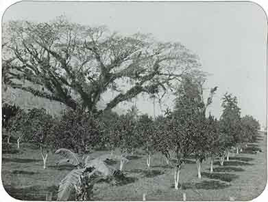 d_0005614_slide_1_citrus_orchard.jpg