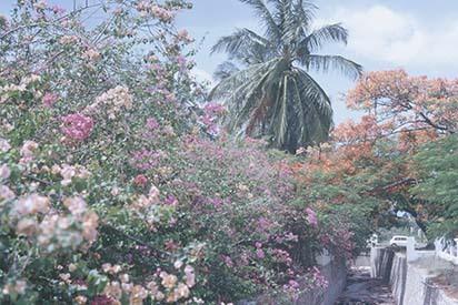 d_0007172_old_hope_road_trees_blossom.jpg
