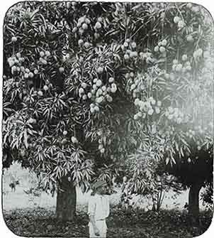 d_0005617_slide_4_mangoes.jpg