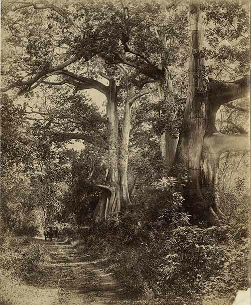 http://nlj.gov.jm/Digital-Images/d_0003601_avenue_cotton_trees.jpg