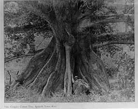 d_0002773_tom_cringles_cotton_tree.jpg