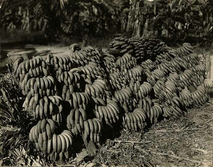 http://nlj.gov.jm/Digital-Images/d_0002665_load_cut_bananas.jpg