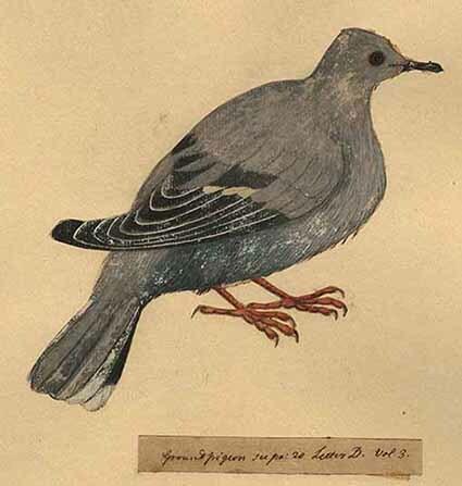 d_0003353_ground_pigeon.jpg