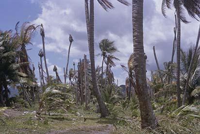 d_0006590_diseased_coconut_trees_portland_st_mary.jpg