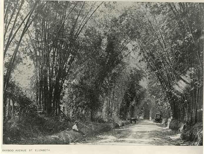 http://nlj.gov.jm/Digital-Images/d_0004117_bamboo_avenue.jpg