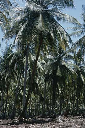 d_0006213_coconut_plantation_st_thomas_coast.jpg