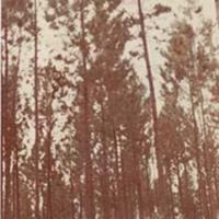 d_0005127_10_year_old_caribbean_pine.jpg