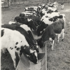 d_0008032_imported_holstein_calves.jpg