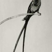 http://nlj.gov.jm/Digital-Images/d_0002862_doctor_bird.jpg