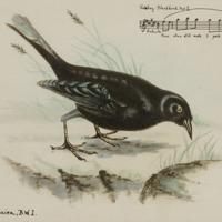 d_0004848_tinkling_blackbird_2.jpg
