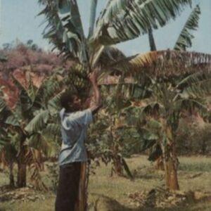 d_0006841_harvesting_bananas_jamaica.jpg
