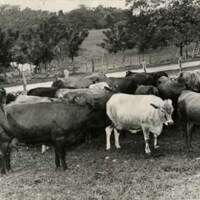 http://nlj.gov.jm/Digital-Images/d_0002874_healthy_looking_cows_herd.jpg