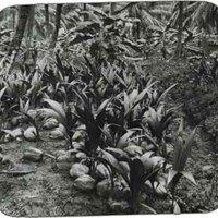 Birth of a 'cocoanut' palm, Jamaica