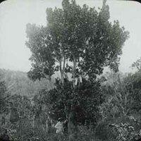 d_0005638_slide_26_pimento_tree.jpg