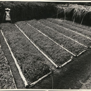 d_0007340_mahagony_seedlings.jpg