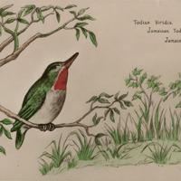 d_0004844_todius_viridis_jamaican tody_robin.jpg