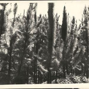 d_0007339_pinces_caribaea_pines.jpg