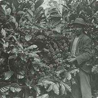 d_0005642_slide_30_coffee_tree_showing_berries.jpg