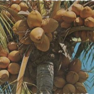 d_0006836_coconut_palm_jamaica.jpg