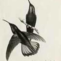 http://nlj.gov.jm/Digital-Images/d_0002892_lampornis_mango.jpg