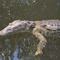 d_0005762_crocodile_black_river_safari.jpg