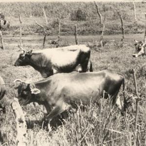 d_0007960_calves_serge_island_dairy.jpg