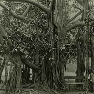 d_0007546_banyan_tree_kgn_park.jpg