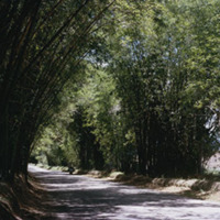 d_0006129_bamboo_avenue_st_elizabeth.jpg