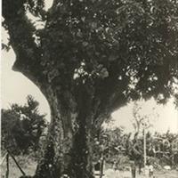 d_0004452_kindah_mango_tree_accompong.jpg
