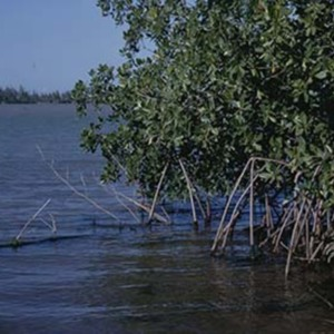 d_0007236_rock_bay_mangroves_falmouth.jpg